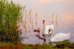 Swans with nestlings at  sunset Royalty Free Stock Images