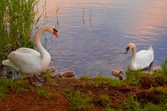 Swans with nestlings at  sunset Royalty Free Stock Photo