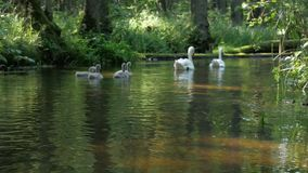 Swans with nestlings. stock footage