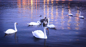 Swans night Royalty Free Stock Image