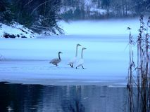 Swans in a Norweigan Winter. Swans on a frozen Norweigan lake royalty free stock photo