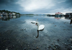 Swans in Oban. Romantic couple of swans in Oban harbor at dawn Stock Photos