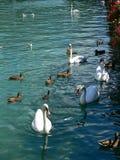 Swans och änder Royaltyfria Foton