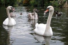 Swans och Cygnets på en flod Arkivfoton
