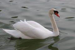 The most elegant swan stock image