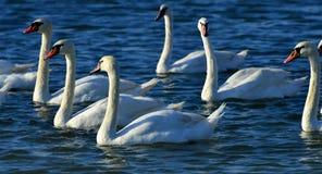 Swans On Black Sea Stock Image
