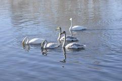 Free Swans On The Lake. Royalty Free Stock Photo - 53237385