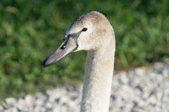 Swans in the ornithological Park of Sochi. Krasnodar region Stock Photos