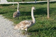 Swans in the ornithological Park of Sochi. Krasnodar region Royalty Free Stock Photography
