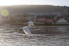 Swans over the Moselle river, Luxembourg. Two swans flying over the Moselle river in winter, Luxembourg Royalty Free Stock Photo