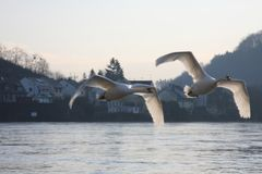 Swans over the Moselle river, Luxembourg Royalty Free Stock Photo