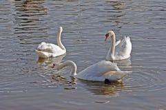 Swans på en flod Arkivbilder