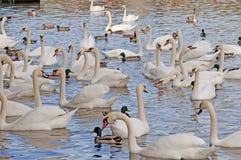 Swans på en flod Royaltyfria Bilder