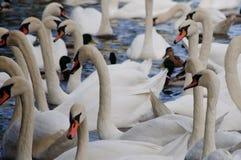 Swans på en flod Arkivfoto