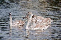 Swans på en flod Arkivbild