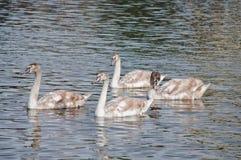 Swans på en flod Royaltyfri Fotografi