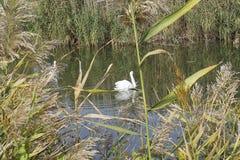 Swans på floden Royaltyfria Foton