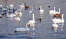 Swans på floden Royaltyfri Bild