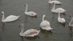 Swans på floden stock video