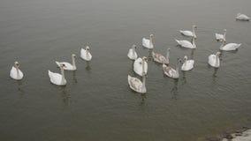 Swans på floden lager videofilmer