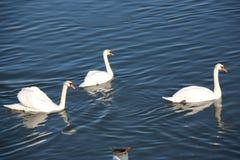 Swans på floden Royaltyfria Bilder