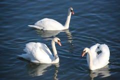 Swans på floden Arkivbild