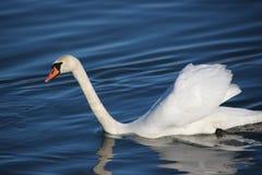 Swans på floden Fotografering för Bildbyråer