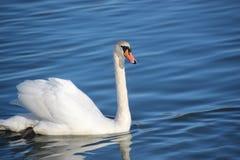 Swans på floden Arkivfoto