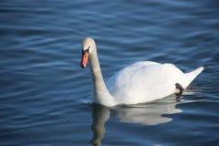 Swans på floden Arkivfoton