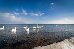 Swans på kusten i vinter fotografering för bildbyråer