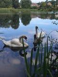 Swans på laken Fotografering för Bildbyråer