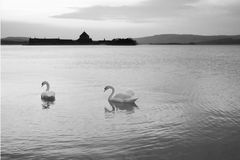 Swans på laken arkivbild