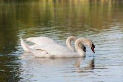 Swans på laken Royaltyfri Fotografi