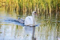 Swans på laken Familiy av svanar royaltyfri fotografi