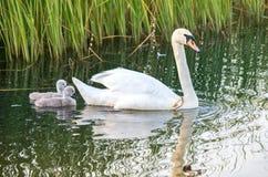 Swans på laken Familiy av svanar royaltyfria bilder
