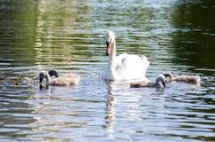 Swans på laken Familiy av svanar royaltyfri foto