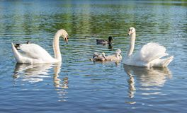 Swans på laken Familiy av svanar arkivbild