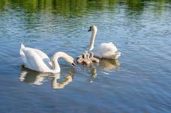 Swans på laken Familiy av svanar fotografering för bildbyråer