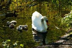 Swans på laken Svanar med gröngölingar royaltyfria bilder