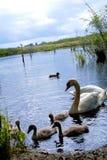 Swans på laken Svanar med gröngölingar arkivbild
