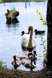 Swans på laken Svanar med gröngölingar royaltyfri bild