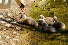 Swans på laken Svanar med gröngölingar royaltyfri foto