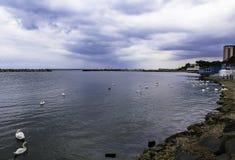 Swans på stranden Royaltyfria Foton