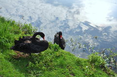 Swans. Pair of black swans on a lake, a river. Reflection of the sky in water Royalty Free Stock Photography