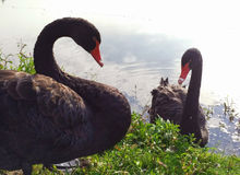 Swans. A pair of black swans on the shore of a lake, a river Stock Photo