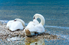 Swans pair on summer lake Royalty Free Stock Images