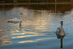 Swans. Stock Photography