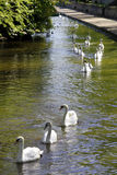 Swans on Parade Royalty Free Stock Photo