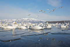 Swans In Partially Frozen Lake Stock Images