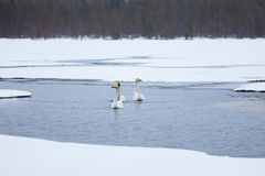 Swans on partially frozen lake Royalty Free Stock Photos